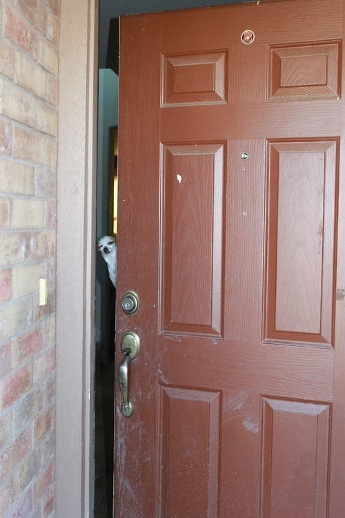 Tiny high dog answers door for Door 7 days to die