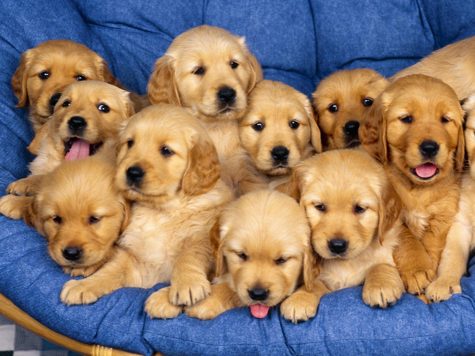 Golden Retriever Puppies - Wallpaper