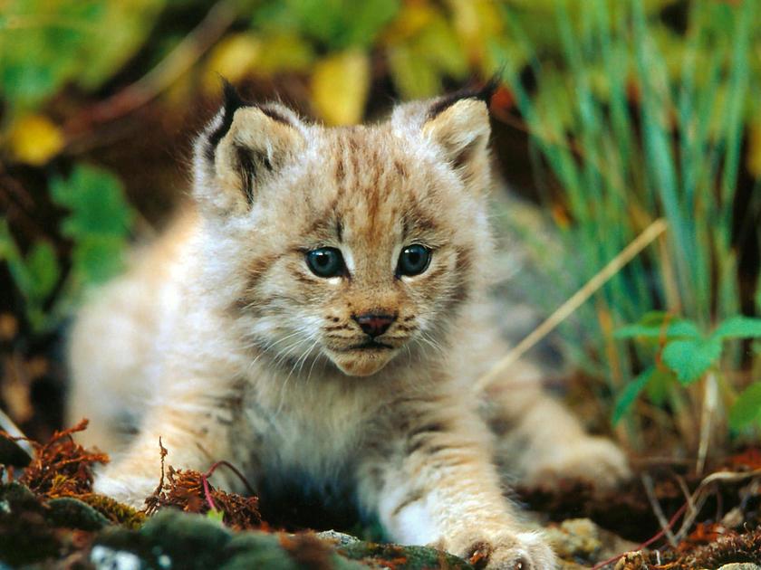 Cute baby bobcat - photo#1